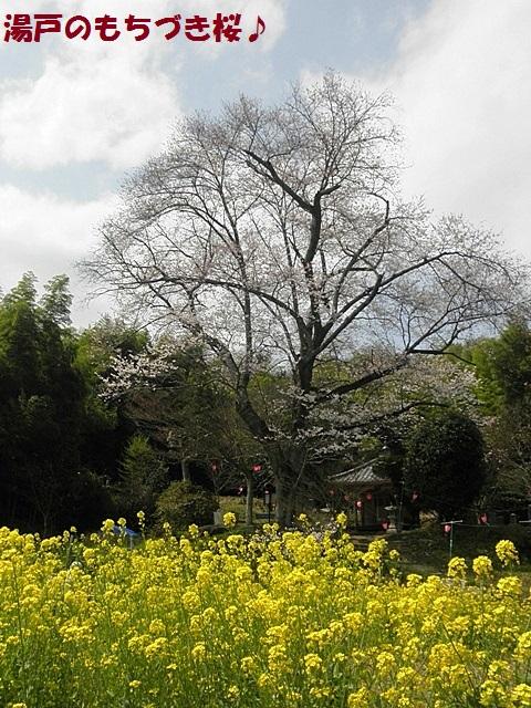 もちづき桜2-001