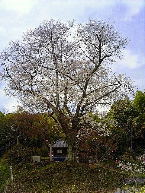 もちづき桜-002