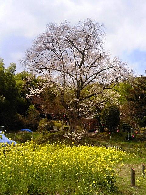 菜の花と桜-001
