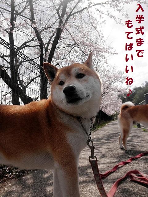 桜並木-001