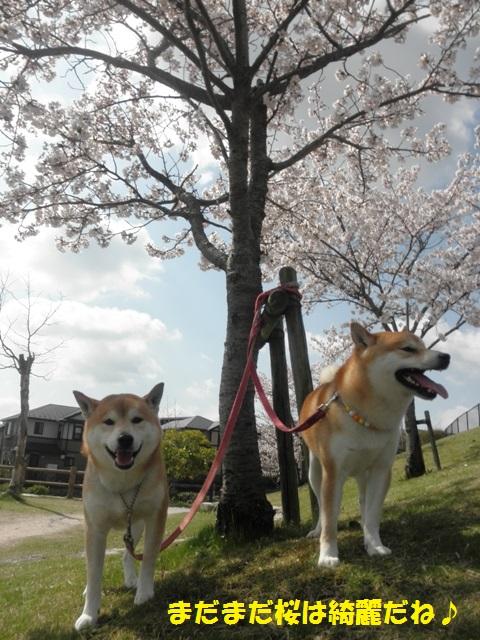 桜がまだまだ綺麗だね