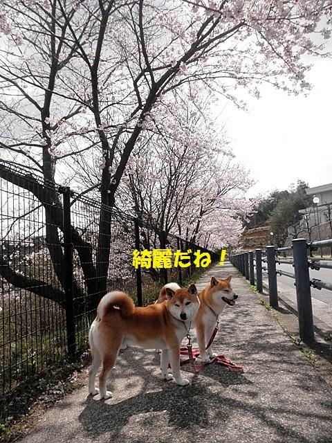 桜並木4-001