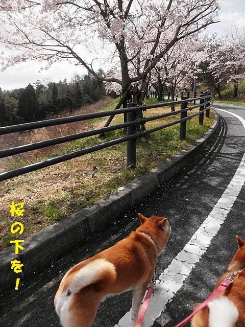 桜の下を-001