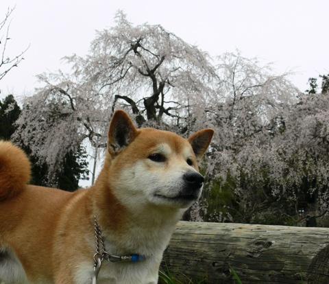 シダレ桜7