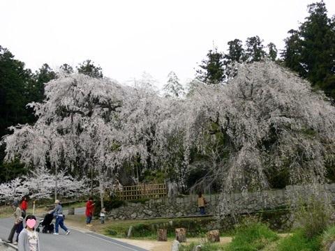 シダレ桜8