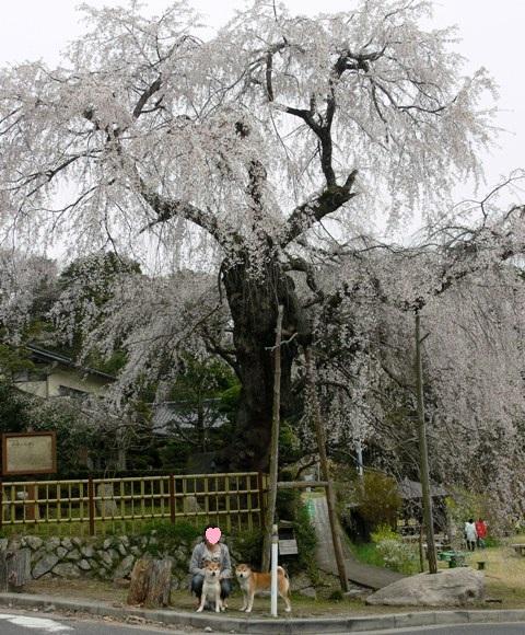シダレ桜3