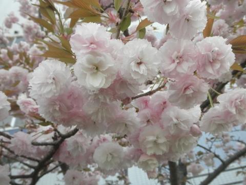 八重桜!!