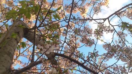 DSC_4252(マリリンの桜の木③)
