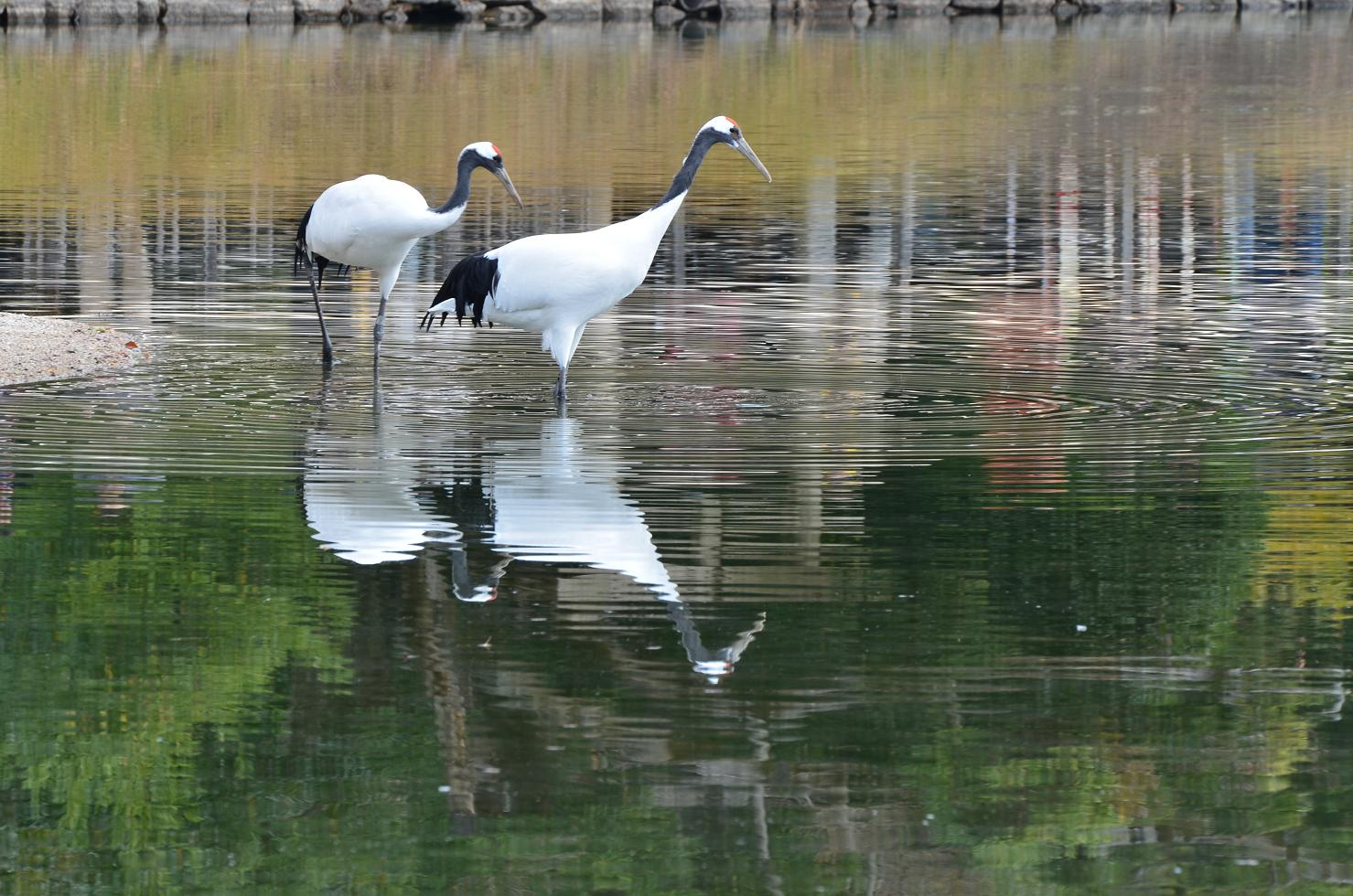 DSC_0349池の鶴