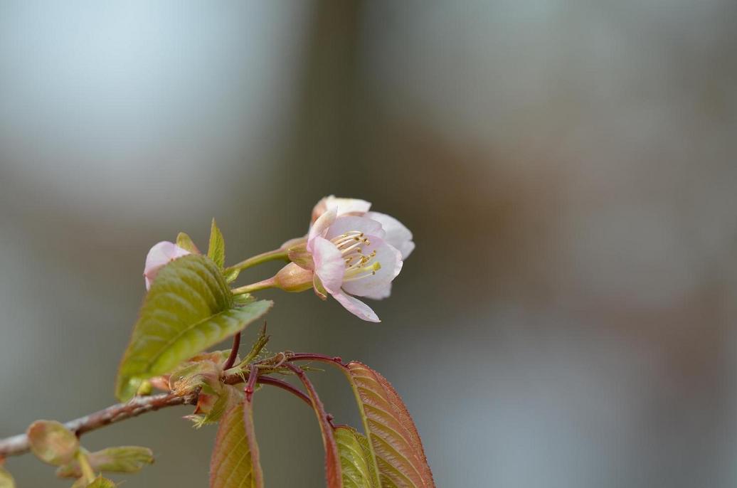 DSC_0693ヒマラヤ桜