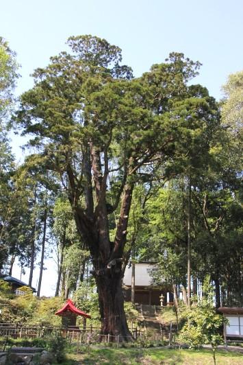 清水寺の杉
