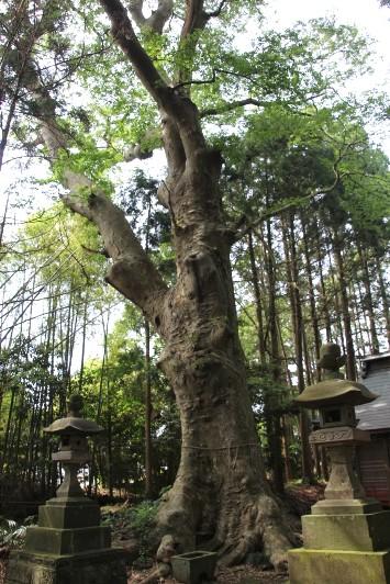沼尾神社のケヤキ