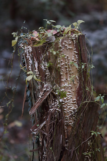 森の切り株