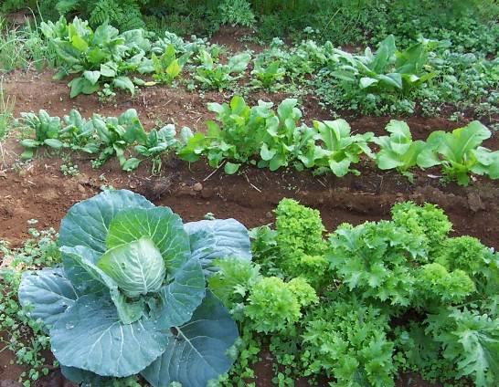 生ゴミで肥えた菜園