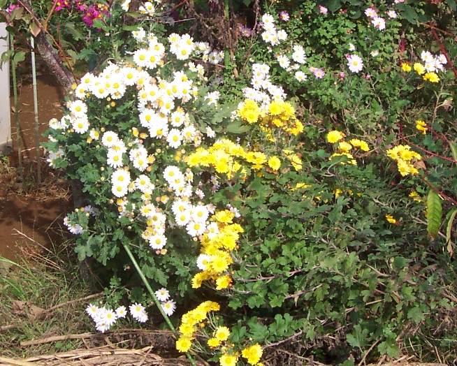 肥えた菜園(菊花)