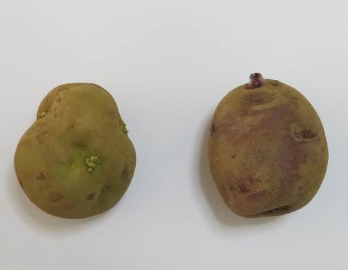 秋ジャガ2種