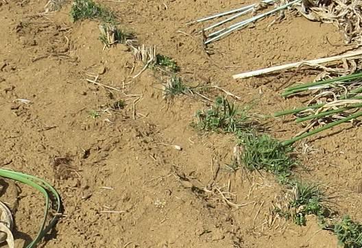 ソルガムの根茎残骸