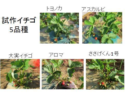 イチゴ5品種