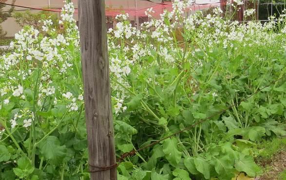 大きくなったダイコンの花