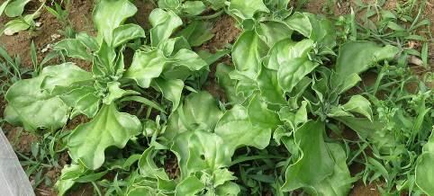 菜園のアイスプラント脇芽