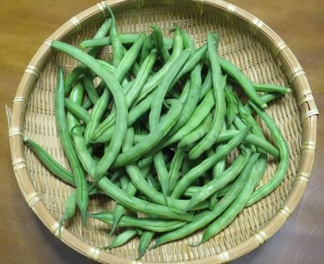 インゲン収穫物