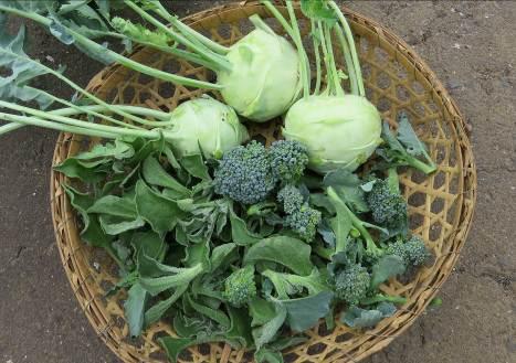 コールラビ収穫物