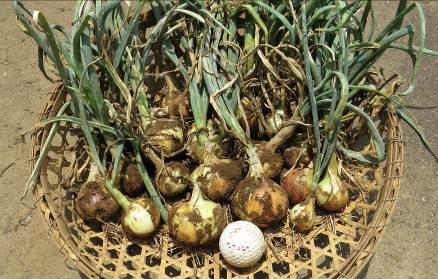 ミニタマネギ収穫物