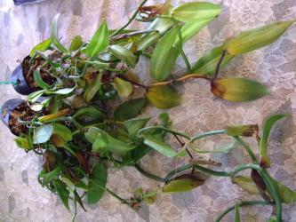観葉植物バニラ~11月の終りに仕立て直した生き残り株は室内でも痛んでしまいます・・・2012.12.05