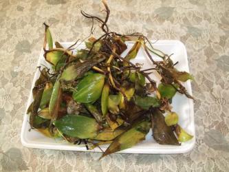 観葉植物バニラ~痛んだ葉を掃除したらこんなにいっぱいダメに・・・2012.12.05