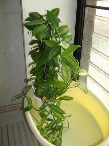 観葉植物バニラ~お風呂場の締め切った窓辺で思わず~かなり元気で~す♪2012.12,22