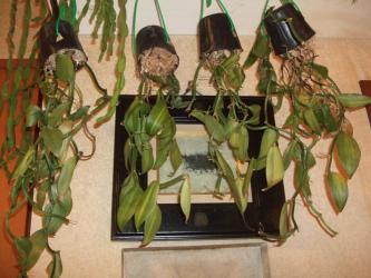 観葉植物バニラ~室内気温最低でも16℃を保ちますが・・・目減るいっぽうです・・・2012.12.22