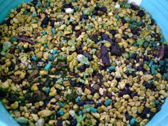 アエオニウムの実生苗~春まき種は融けていなくなりましたが、再び秋に発芽が始まり現在こんな形ができています♪2012.12.24