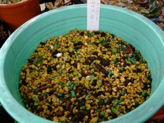 いい加減な種蒔き・・・なのに・・・今秋発芽が再び始まりました♪アエオニウムミックス自家採取種から発芽~2012.12.24