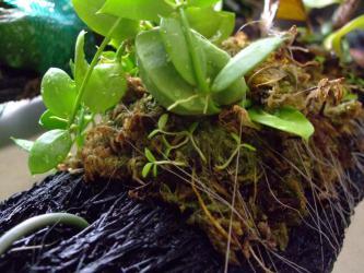 ディスキディア ペクテノイデス(Dischidia pectenoides) 室内15℃以上の暖房部屋で弾けた実生苗もなんとか生きています♪2012.12.31