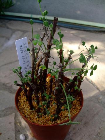 オキザリス ギガンティア(Oxalidaceae Oxalis gigantea)昨年2012.11.06挿し木した苗です。大体2ヶ月経過~植物の高さh13.0cm鉢径10.5cm2013.01.01