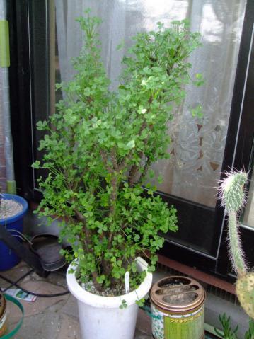 オキザリス ギガンティア(Oxalidaceae Oxalis gigantea)昨年2012.11月~新芽が出始めてから2ヶ月経過し繁々です♪植物の幅w32.0cm高さh62.0cm鉢径16.0cm~2013.01.01