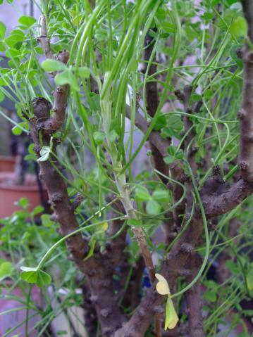 オキザリス ギガンティア(Oxalidaceae Oxalis gigantea)グレーな微毛の生えた枝が新枝です。結構伸びています♪~2013.01.01