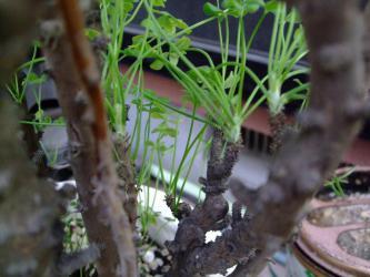 オキザリス ギガンティア(Oxalidaceae Oxalis gigantea)新枝の出始め~白く柔らかい感じです♪~2013.01.01