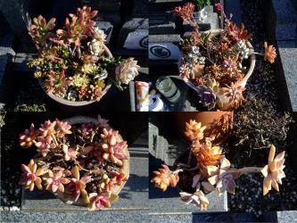 お墓の多肉寄せ植え~年末置き去り組みでしたがなんとか元気に枯れながら紅葉中♪~2013.01.02