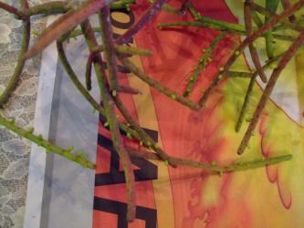 リプサリス グランディフローラ(Rhipsalis grandiflora)早めに室内に取り込むと花芽がたくさん付いています♪2013.01.05