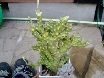 ユーフォルビア キリン角(ネリーフォリア)綴化斑入り(Euphorbia neriifolia variegata cristata)インド原産、落葉性 2013.01.11
