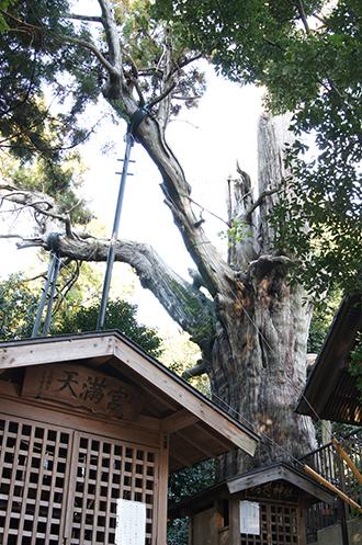 121108埼玉県土屋神社大杉②