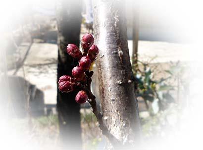 杏の花芽 その後
