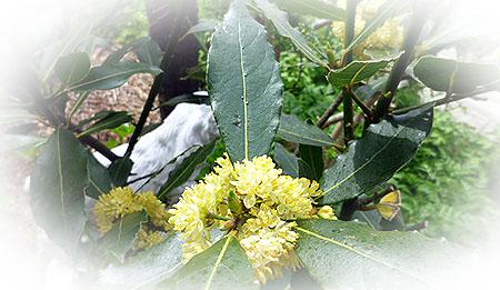 ロ-リエの花