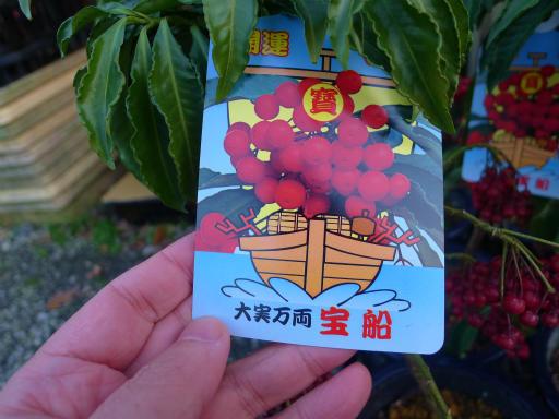 20130102・初詣植物07・マンリョウ