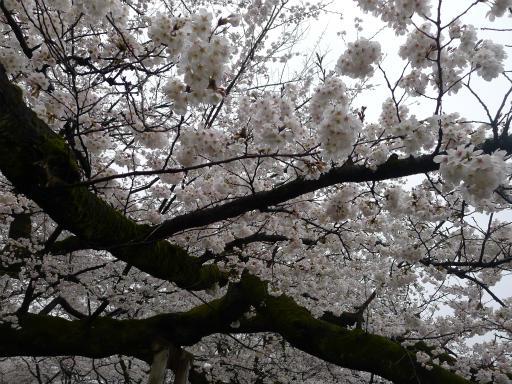 20130327・植物11・桜