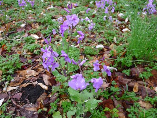 20130327・植物09・ムラサキハナナ
