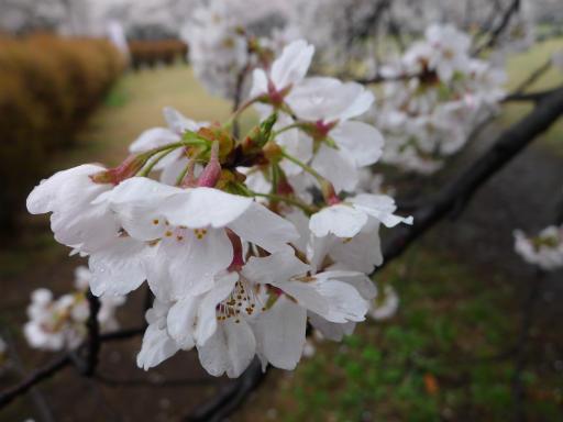 20130327・桜1-06