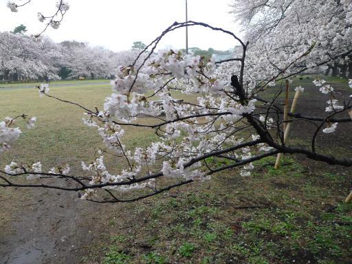 20130327・桜1-05