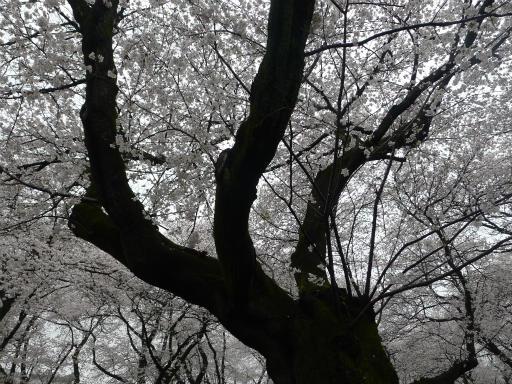 20130327・桜1-02